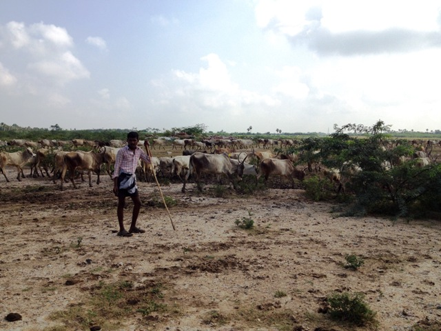 a man herding cattle on the side of the highway